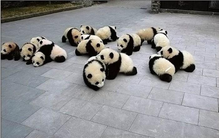 Cute-panda-babies