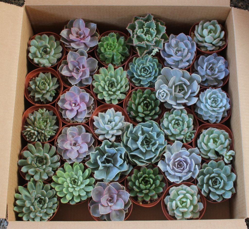 4-echeverias-rosette-succulent-wedding-favor-gift-5